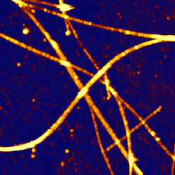 Microtubules - AFM with fluorescence microscopy